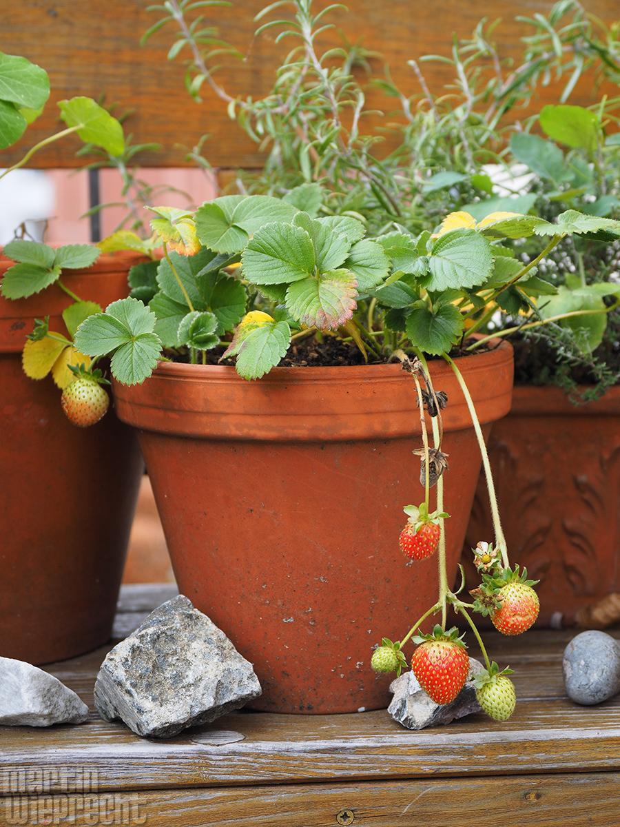 Balkon-Erdbeeren im November